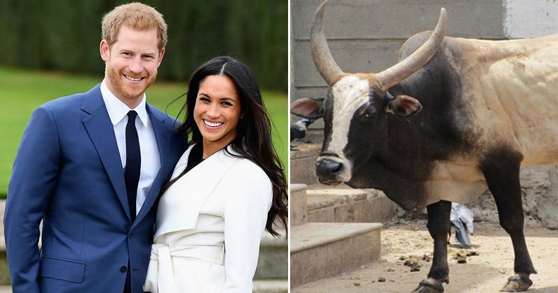 प्रिंस हैरी की शाही शादी में गिफ्ट में मिला आवारा बैल, भारतीयों ने दिए ऐसे अजीब गिफ्ट
