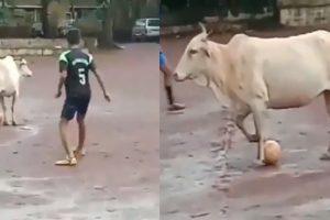मैदान में घुस लड़को के साथ फुटबॉल खेलने लगी गाय, Video देख बोलोगे 'ये तो प्रोफेशनल खिलाड़ी हैं'